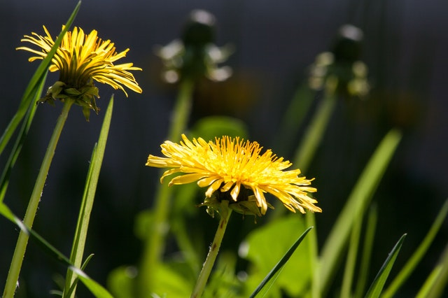 Dandelion herb for Constipation remedy